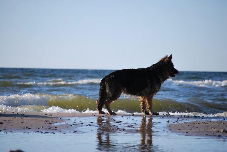 Schäferhund am Ostseestrand